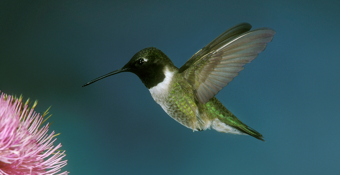 The black-chinned hummingbird is found in many parts of the western United States, including Southern California.